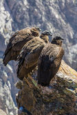 Three Condors at Colca canyon sitting,Peru,South America. This is a condor the biggest flying bird on earth — Stock Photo