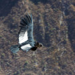 Flying condor over Colca canyon,Peru,South America. This is a condor the biggest flying bird on earth — Stock Photo
