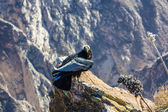 Condor at Colca canyon sitting,Peru,South America. This is a condor the biggest flying bird on earth — Stock Photo