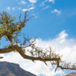 Tree in peruvian desert in South America — Stock Photo