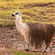 Peruvian  vicuna. — Stock Photo