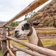 Peruvian  Llama. — Stock Photo