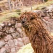 Peruvian alpaca. — Stock Photo