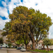 Large tree Pisonay in Peru — Stock Photo