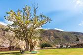 Tree in peruvian desert in South America — Stock Photo