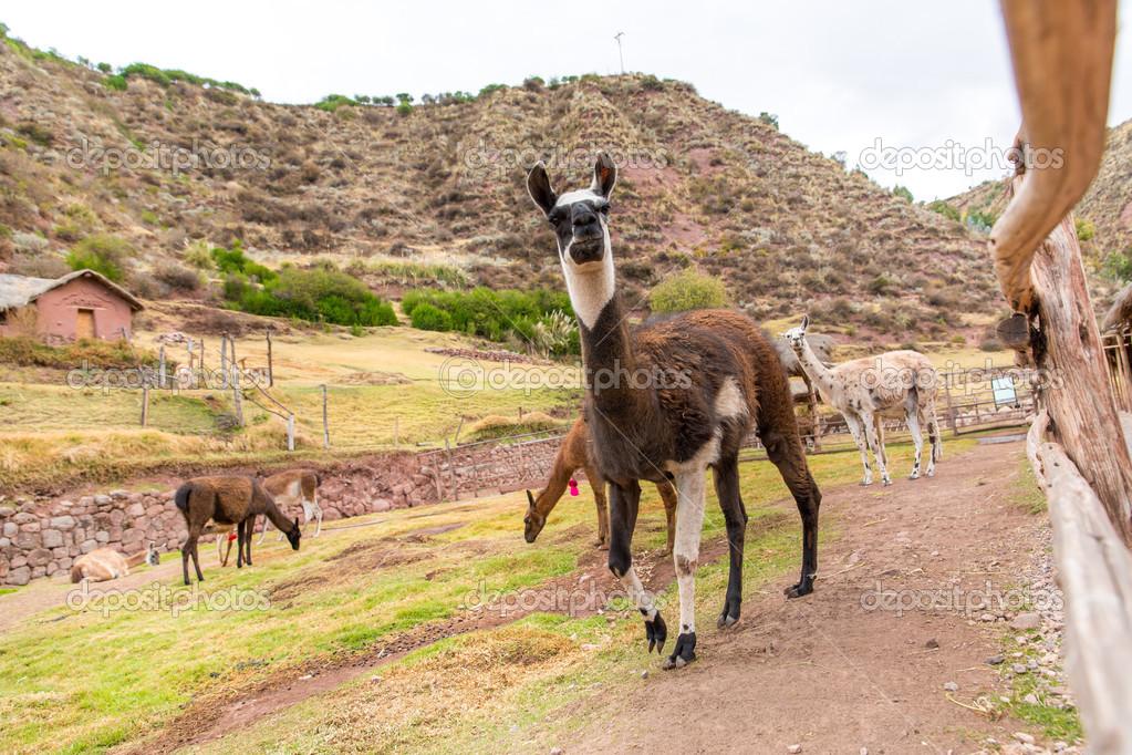 Peruvian Llama. — Stock Photo © vitmarkov #34556695