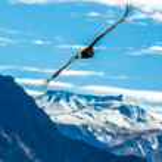 Flying condor over Colca canyon — Stock Photo #37277415