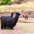 Peruvian Llama — Stock Photo