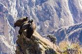 Полет кондора над каньоном Колка — Стоковое фото