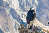 Condor at Colca canyon sitting — Stock Photo