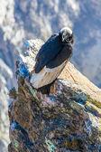 Condor at Colca canyon sitting — Stockfoto