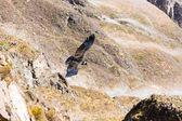 Flying condor over Colca canyon — Stock Photo