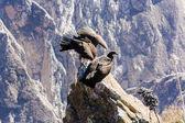 Condors at Colca canyon — Stock Photo