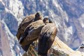 Drei kondore im colca canyon sitzung — Stockfoto
