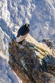 Condor at Colca canyon sitting — Foto de Stock
