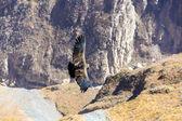 Flying condor over Colca canyon — Stock fotografie