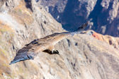 Flying condor over Colca canyon — Zdjęcie stockowe