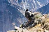 Condor at Colca canyon sitting — Stock Photo