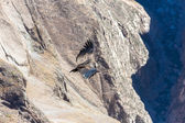 Flying condor over Colca canyon — Foto de Stock