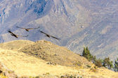 Flying condor over Colca canyon — Stock Photo