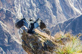 Three Condors at Colca canyon — Stock Photo
