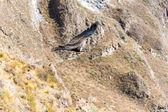 Vol condor — Photo