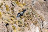 Condor vuelo — Foto de Stock