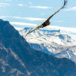 Flying condor over Colca canyon — Stock Photo #39775041