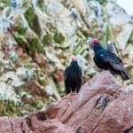 ������, ������: Vulture red neck birds