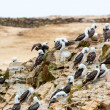 Stok fotoğraf: Aquatic seabirds in Peru