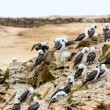 Aquatic seabirds in Peru — Stock Photo #39777911