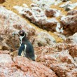 Stock Photo: South Americpenguins coast