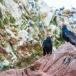 Vulture red neck birds in Ballestas Islands — Stock Photo #39779035
