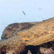 Stockfoto: Aquatic seabirds in Peru