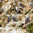 Stock Photo: Aquatic seabirds in Peru