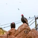 Постер, плакат: Vulture red neck birds