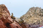 South American Sea lions — Stock Photo
