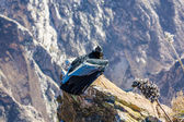 Condor at Colca canyon — Stock Photo