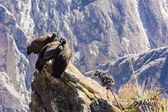 Three Condors at Colca canyon — Stock Photo