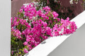 Flowers bougainvillea — Stock Photo