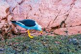 Aves marinas acuáticas en Perú — Foto de Stock