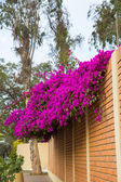Flowers bougainvillea in Lima — Stock Photo