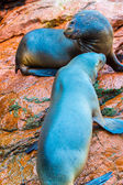 South American Sea lions — Stock Photo