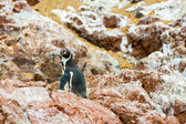 South American penguins coast — Stock Photo