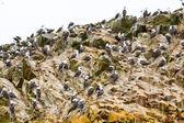 Aquatic seabirds in Peru — Stock Photo