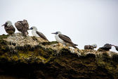 Aquatic seabirds in Peru — Stock Photo