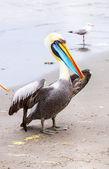 Pelicans on Ballestas Islands — Stock Photo