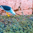 Aquatic seabirds in Peru — Stock Photo #39781695