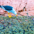 Aquatic seabirds in Peru — Stockfoto #39781931
