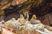южноамериканские морские львы — Стоковое фото